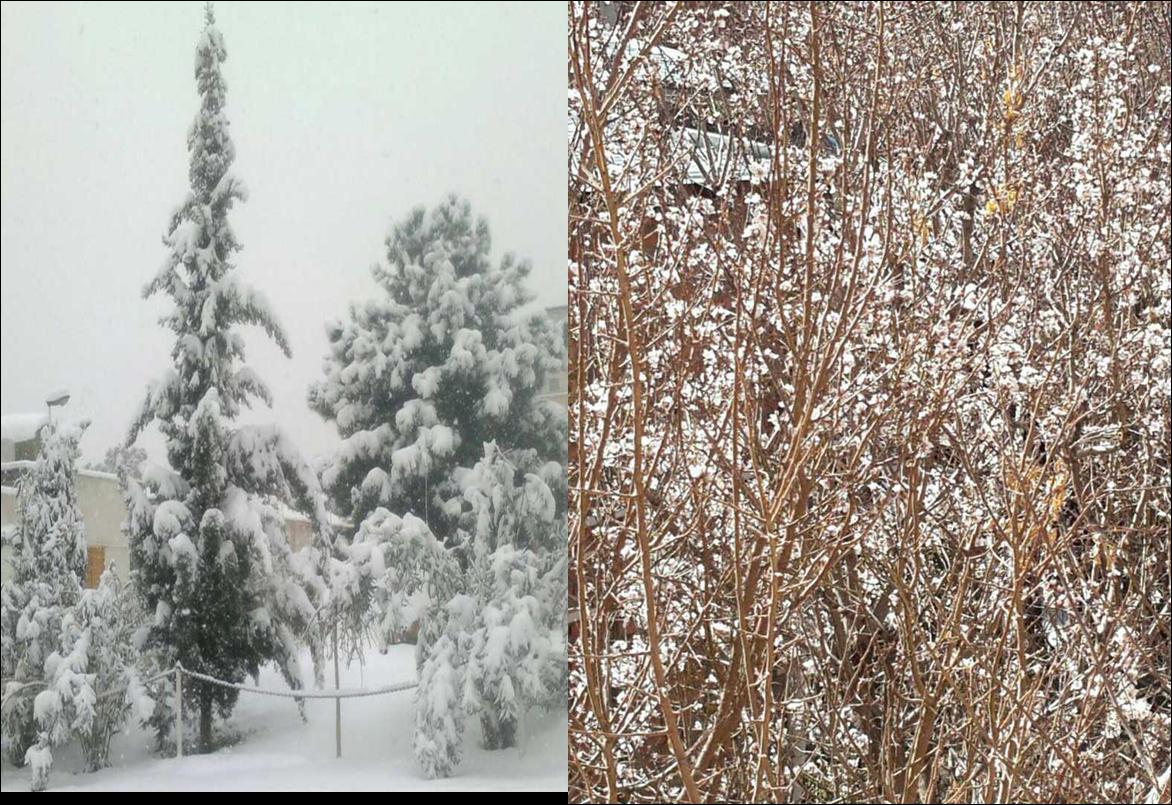 از بهار زمستانی تا جاماندن از برف زمستانی در رابر