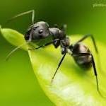 شاید فکرش را هم نمی کردید مورچه ها به درد زیبایی شما بخورند!