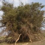 درخت کُنار با قدمت ۵۰۰ ساله در ریگان