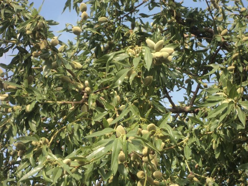 میوه نوبرانه ای که از سرطان معده پیشگیری می کند