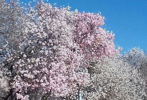 تصاویر زیبا از شکوفه های بهاری اسفندماه در  رابر