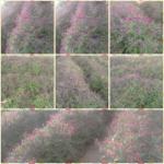 برداشت گیاه دارویی گل گاوزبان در رابر/تصاویر