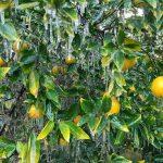 وقتی امید کشاورزان در سرما یخ می زند/خسارت میلیاردی غول سرما به ریشه اقتصاد مقاومتی جنوب کرمان+تصاویر