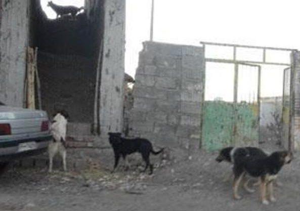 شهروندان رابری خواستار جمعآوری سگهای ولگرد هستند+ فیلم
