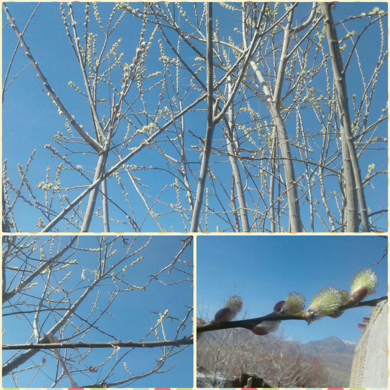 شکوفه های بیدمشک نوید بهار در روستای تذرج رابر/تصاویر
