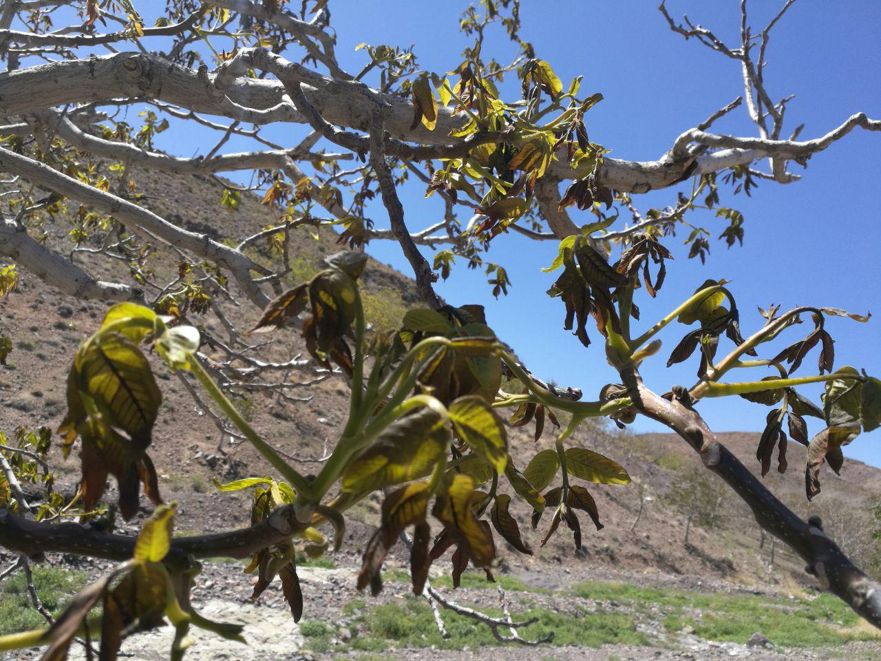 تیشه خزان بهاری برباغات/خسارت ۵۰ درصدی سرمازدگی به کشاورزان رابری